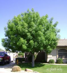 This is a great tree for those who like lush, green trees that lose their leaves in winter.  Chinese Pistache grows to 25 ..