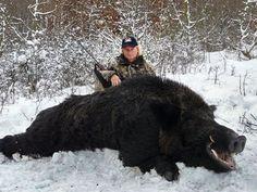 An exceptional 320 kg (705 lbs) wild boar taken in Bulgaria