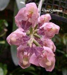 Lacaena spectabilis - Inflorescence Close-up