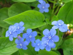 Omphalodes verna - also known as 'Blue-eyed Mary'. Beautiful spring plant which loves woodland conditions.