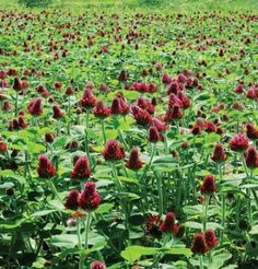Buy Crimson Clover cover crop seeds as an upright, winter annual legume. Grows to and sports striking crimson blossoms in quantity. Organic Vegetable Seeds, Organic Seeds, Grow Organic, Organic Gardening, Vegetable Garden, Organic Vegetables, Edible Garden, Easy Garden, Lawn And Garden