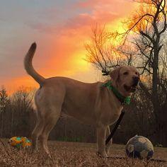 Photographed by Lori W. , Whitmans Labradors
