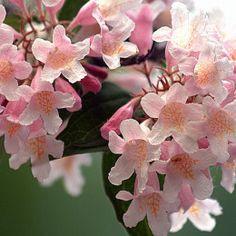 Kolkwitzia Amabilis, Beauty Bush: Gorgeous Clustered Bell Shaped Flowers In Mid-Spring