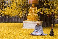 As folhas caídas desta árvore milenar de Ginkgo inundam este templo budista chinês