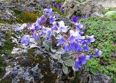 Class 38 - Alpine Garden Society Online Show, 2016 - Alpine Garden Society