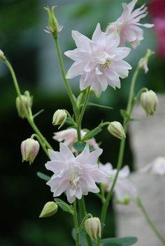 Aquilegia vulgaris var. stellata 'White Barlow' (Secret Seed)