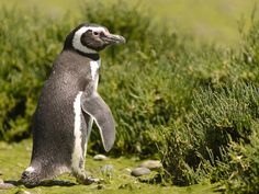 The city of Puerto Deseado, located in Patagonia's southern Santa Cruz Province, attracts visitors for its views and wildlife, including the ever-adorable Magellanic penguins.