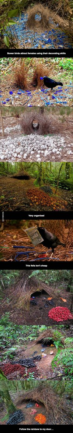 Bower Birds are Awesome can you believe all this work for a mate?   wow
