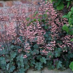 A literally explosive display of coral-red flowers setting the bronze, lightly ruffled foliage on fire! The best of its type and one of our favourites. Planted en-mass it gives a superb display all year round. The foliage effect is very pleasing in w Shade Garden, Garden Plants, Coral Bells, Heuchera, Image Types, Red Flowers, Fireworks, Evergreen, Google Images