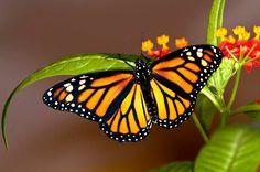 ¡Las mariposas monarca ya llegaron a Michoacán! ¿Qué esperas para visitar sus dos santuarios?
