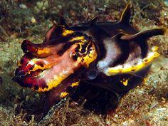 Flamboyant Cuttlefish  (The tiny one?)