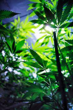 weed ganja