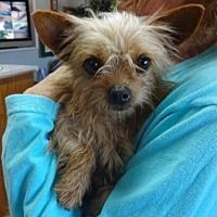 Lathrop, California - Yorkie, Yorkshire Terrier. Meet Peanut, a for adoption. https://www.adoptapet.com/pet/21084730-lathrop-california-yorkie-yorkshire-terrier-mix
