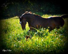 cavalo à solta. Foto de filipa Quelhas Canelas Pinto