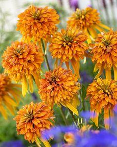 Coneflower (Echinacea 'Marmalade')