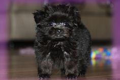 Mi-ki puppies for sale, Toy Breed Puppy Nursery in Florida Puppy Nursery, Cute Little Puppies, Puppies For Sale, Maltese, Shih Tzu, Adoption, Wordpress, Tampa Bay, Bay Area