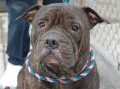 TO BE DESTROYED 12/11/13  Brooklyn Center -P My name is MYSTQUE  #A0986864. I am a female bl brindle and white pit bull mix. 5 YEARS old. I came in the shelter as a OWNER SUR on 12/07/2013 Extremely friendly dog. This girl got all 1's on her safer (aside from d2d which is still good) and she has been used and abused her whole life. Skin condition is treatable but neglected far too long-poor baby! She tolerated all handling. Mystique is a really good girl who needs a second lease on life.