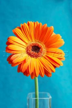 turquoise and orange daisys - Bing Images