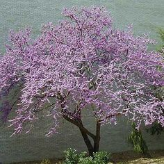 Looking for the perfect tree for your small suburban lot? Here are 15 varieties, like this Eastern Redbud (Cercis Canadensis) that remain under 25 to 30 feet at maturity.   Photo: Missouri Botanical Garden   thisoldhouse.com