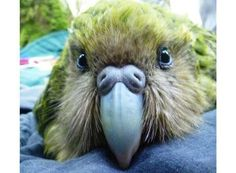 The rare Kakapo bird, not only is it cute, it's the longest lived bird in the world.  Some can live up to 120 years #Interesting