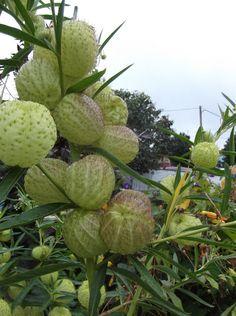 Rare Seeds Butterfly Balls by PerennialSeedsPlus on Etsy