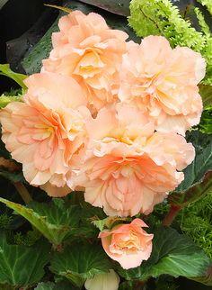 Orange Sherbet ~ Cascading peach begonias