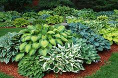 funkien pflanzen garten pflanzen exterieur