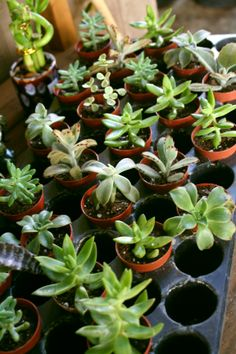 Succulents... An almost endless string of creative ideas can start with this tray :)