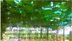 Hanging Bottle Gourd @Naandi farm