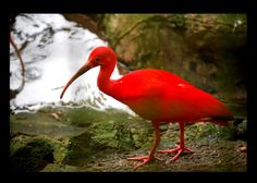 Trinidad National Bird and Flower   Recent Photos The Commons Getty Collection Galleries World Map App ...