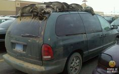 Raccoons on top of car. Only at a Wal-Mart #EpicFunny #Humor #PeopleOfWalmart