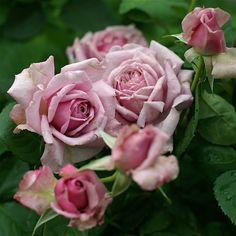 Shrub Rose: Rosa 'Bella Donna' (Japan, 2010)