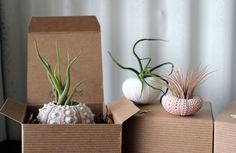mixed trio // air plant sea urchins // by robincharlotte on Etsy, 26,51€