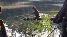 Meanwhile in Florida, there is a raccoon riding on an alligator's back.