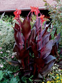 Canna Lily 'Australia' (Canna x generalis). Deep red leaves, medium red flowers.