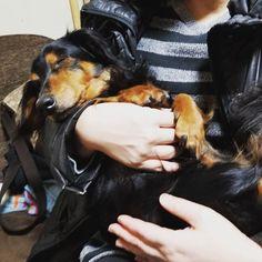 帰宅するといつも甘えてくるチッチ❤  お姫様抱っこで安心したのかな… お爺ちゃんですがー😅w  いつも留守番ありがとう😊✨ #犬 #愛犬 #わんこ #ミニチュアダックス #ブラックタン #甘えん坊 #お姫様抱っこ #お爺ちゃん #留守番ありがとう