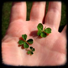 three four leaf clovers