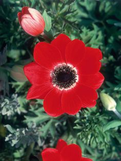 Red, White and Blue Flowers for your Garden - Red Anemone >> http://www.hgtvgardens.com/photos/flowerworks-red-white-and-blue-flowers?s=16=pinterest