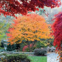 Pick the Right Maple Tree - Southern Living (for Upper to Coastal South, either Japanese maple for color in small spaces or red maple for lawn or shade tree in moist soil)