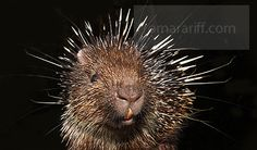 The Sunda Porcupine (Hystrix javanica) is a species of rodent in the Hystricidae family. It is endemic to Indonesia. Original I...