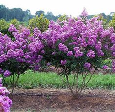 Colorful Bushes for Landscaping | Plants | Annuals, Perennials, Shrubs, Trees - Landscapes - Gardens ...