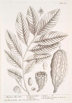 Cacao nut tree engraving