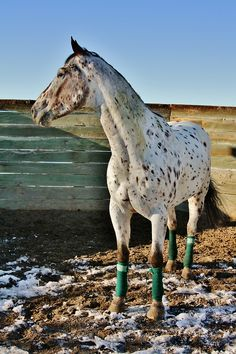 Appaloosa ~ Show name idea: Shadow in the Mist All The Pretty Horses, Beautiful Horses, Horse Adventure, Horse Ears, Appaloosa Horses, All About Horses, Horse Pictures, Wild Horses, Horse Riding