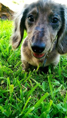 Cute Silvia Gallery - Silver Dapple Dachshund - Silvia playing in the grass