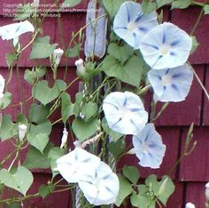Blue Star Morning Glory - BEGAN BLOOMING MID JULY