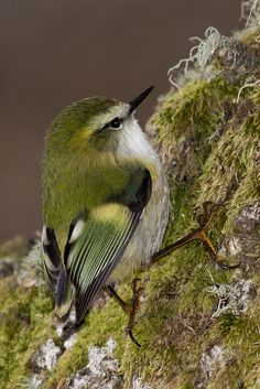 Rifleman (bird) Male is endemic to New Zealand. It belongs to the Acanthisittidae family
