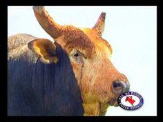 clip touro Bandido 2