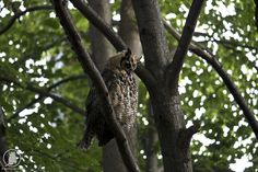 Sleepy Great Horned owl in DuPage County Illinois