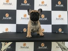 Reserva Bull Madame Augustine World Winner, Dog Show, Dog Training, French Bulldog, Dog Lovers, Puppies, Dogs, Animals, Cubs