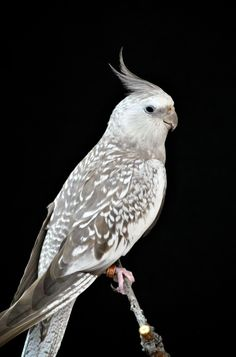 Cockatiel Nymphicus hollandicus by Nate A on 500px